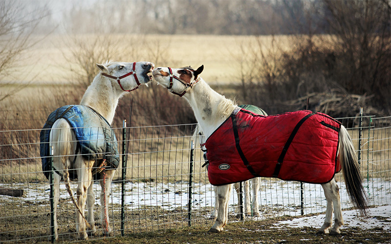 Pferde mit Regendecke
