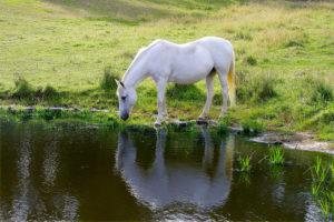 Pferd trinkt Wasser