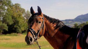 Pferd mit einer schwedischen Trense