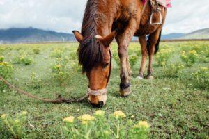 Ein grasendes Pferd