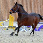 Pferd beim Longier-Training mit Longierpeitsche