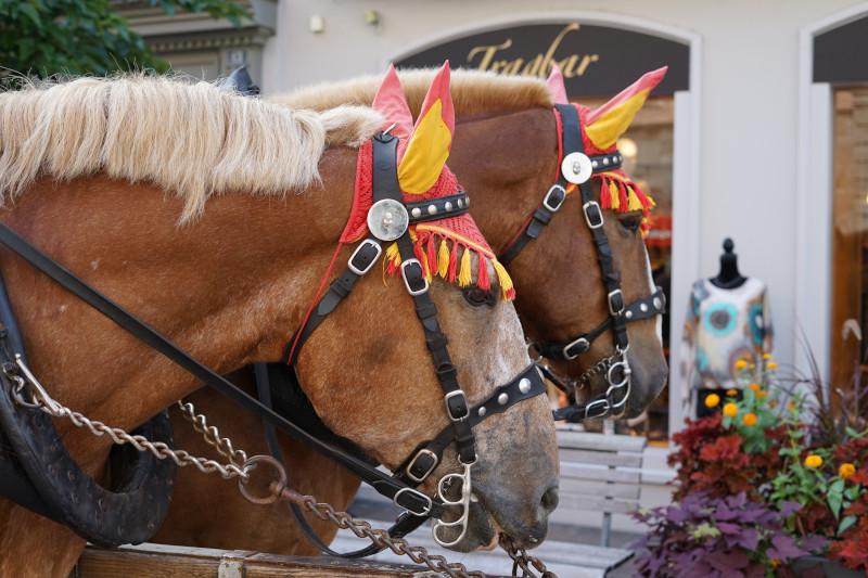 Pferde mit Pelhams