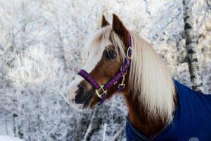 Pferd im Schnee mit lila-pinkem Halfter