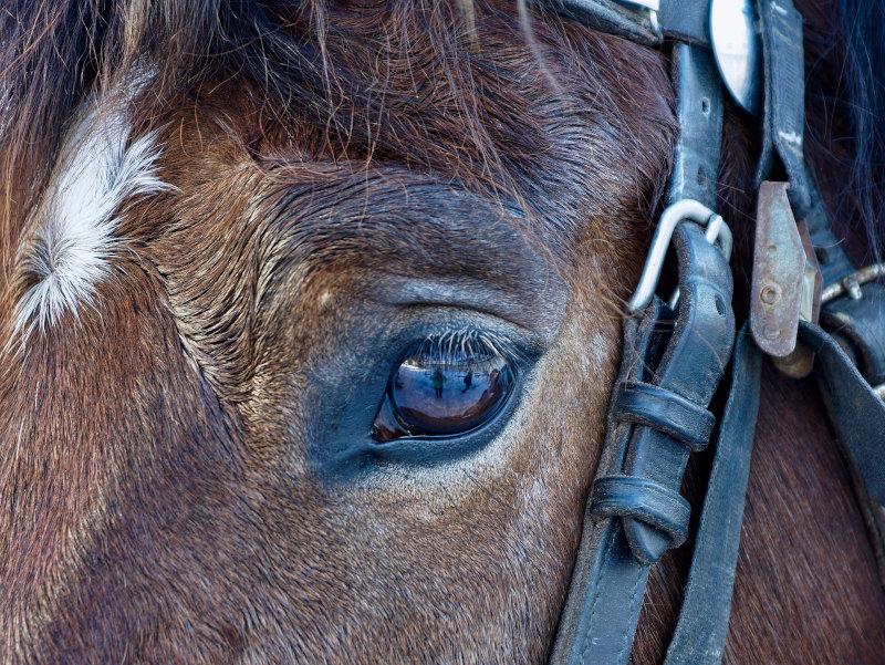 Kopfausschnitt eines Pferdes mit Zaumzeug