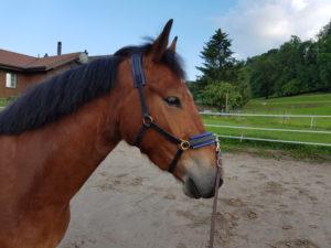 Pferd an einem Kappzaum