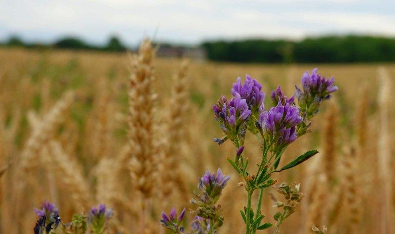 Ein Weizenfeld mit einer Luzernepflanze im Vordergrund